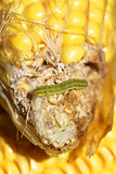 worm on organic maize