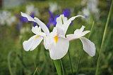 White Dutch Iris Flower Casablanca
