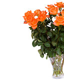 orange  roses in vase close up