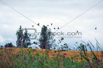 A flock of wild ducks flying over a field