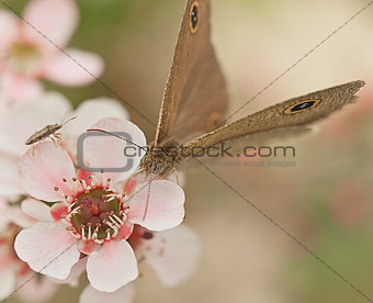 Australia native flower pink leptospernum and butterfly Dingy ring