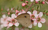 Australian banner live butterfly and pink flower leptospernum natives