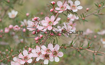Beautiful pink flowers of Leptospernum Australian native spring wildflower