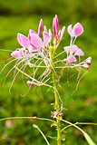 Cleome or Spider Flower, a tall blooming annual