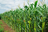 Corn (maize) field