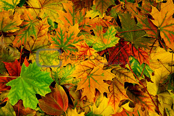 brightly colored autumn leaves
