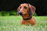 Miniature dachshund dog in park