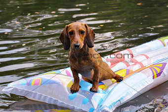 Wet miniature dachshund dog in water