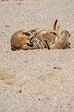 Group of suricates playing
