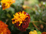 Yellow and red Marigold