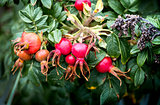 Red Rose hips in the autumn