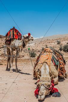 camels in nabatean city of  petra jordan