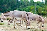 Somali wild ass group
