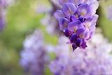 Wisteria clusters of purple lilac flowers during spring