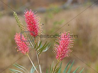 Spring flowers Australian Grevillea Coastal Sunset