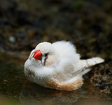 Zebra Finch Taking A Bath