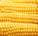 Yellow corn background
