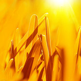 Golden dry grass background