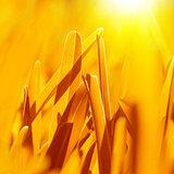Golden dry grass background
