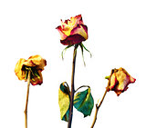 Withered roses on white background