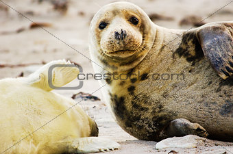Gray seal mother and child