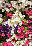 Flowers of petunias