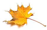 Autumn yellowed maple leaf