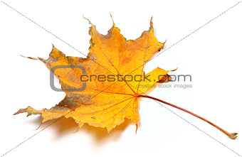 Autumn yellowed maple leaf