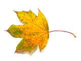 Dry autumn maple-leaf