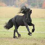 Gorgeous friesian stallion running