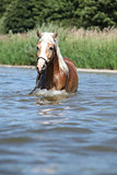 Nice haflinger in water