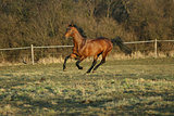 Gorgeous brown warmblood running in the evening