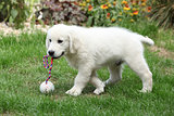 Nice cream golden retriever moving