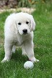 Gorgeous golden retriever puppy