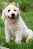 Gorgeous golden retriever puppy sitting