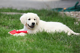Gorgeous golden retriever puppy lying