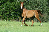Gorgeous chestnut arabian horse in freedom