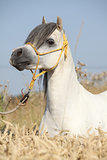 Gorgeous white stallion of welsh mountain pony in corn field