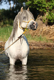 Potrait of gorgeous stallion which is bathing in river