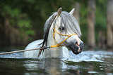 Potrait of gorgeous stallion which is swimming in river