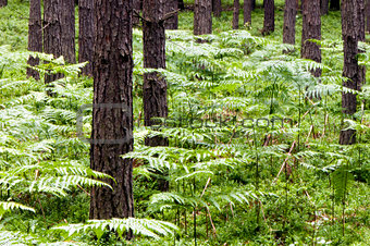 Green ferns and brown tree trunks