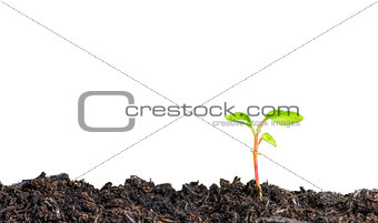 Close up of a young plant sprouting from the ground on white background