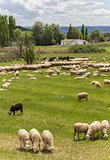 Herd of Andalusian sheep