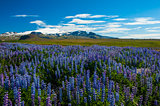 Lupin and mountains