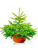 Little green Christmas tree in a red pot.