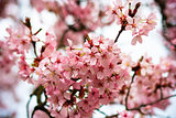 Beautiful spring background of a pink blooming cherry