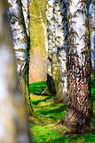 Detail of several aspen birch trees