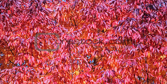 Field of red leaves