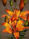 Flowered orange lily in the garden