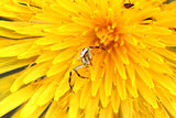 macro spider on a dandelion